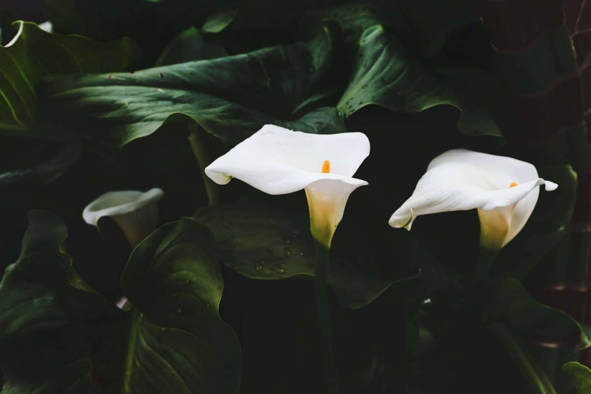 how to grow a peace lily - how to care for a peace lily - how to fertilise a peace lily