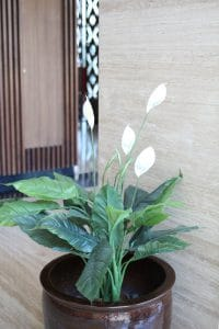 Peace lily plant, how to grow a peace lily